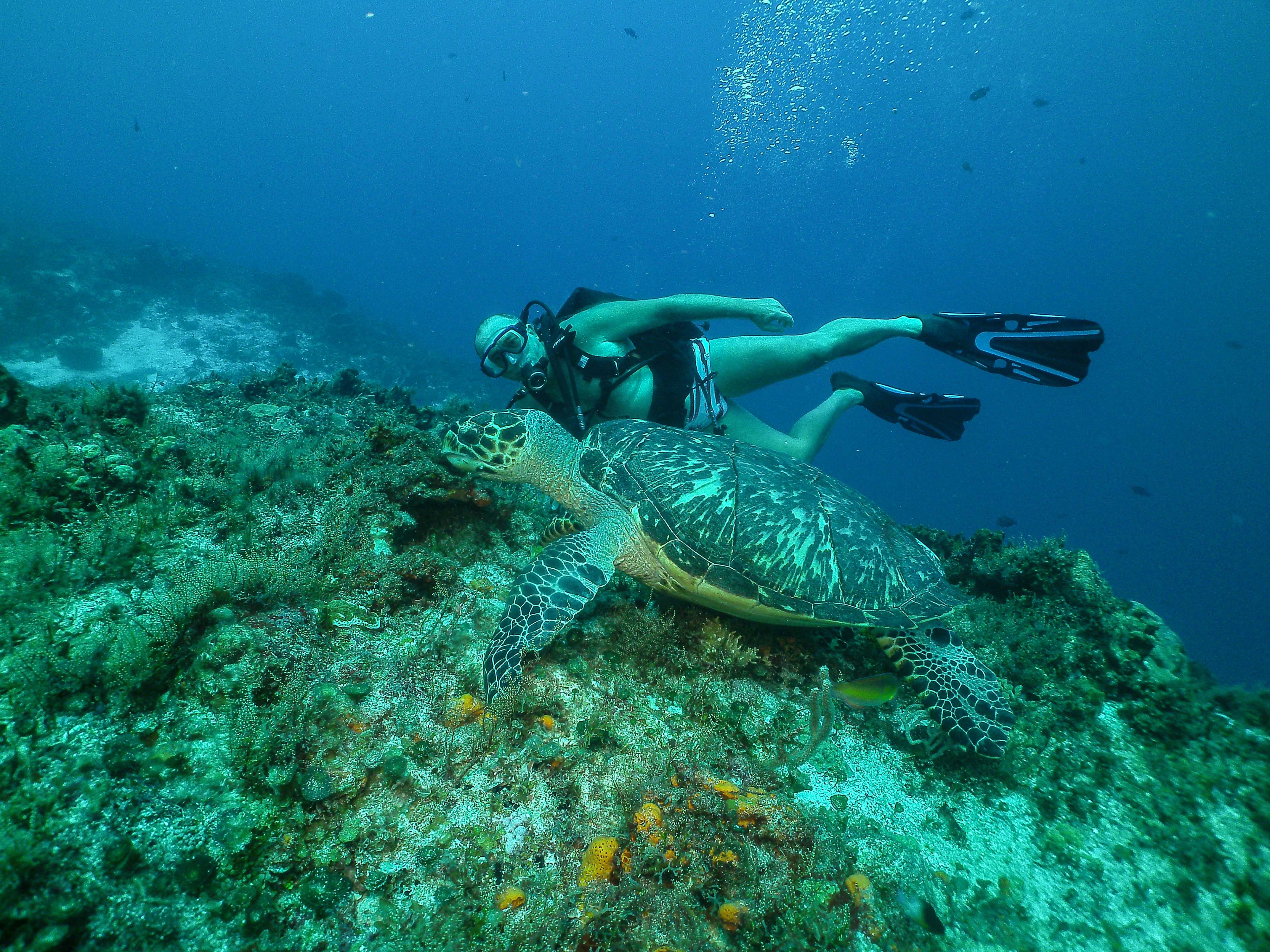 Cozumel Scuba Diving Fulivo Turtle